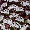 Purperorchis; Orchis purpurea; Lady orchid; Orchis pourpre; PurpurKnabenkraut