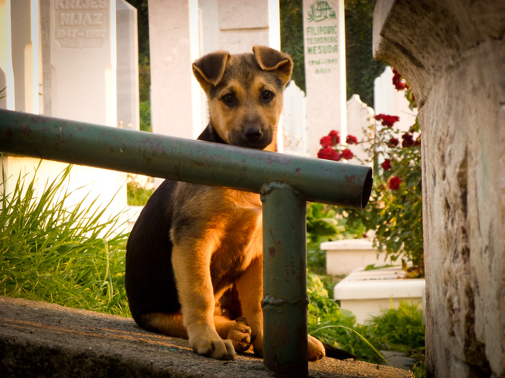 sarajevo puppy