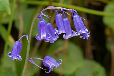 bluebell closeup