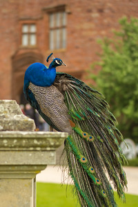 closeup of peacock at Powis Castle