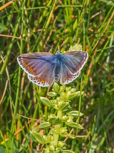 blue butterfly Land's End