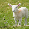 adorable white lamb