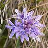 tiny purple wildflowers