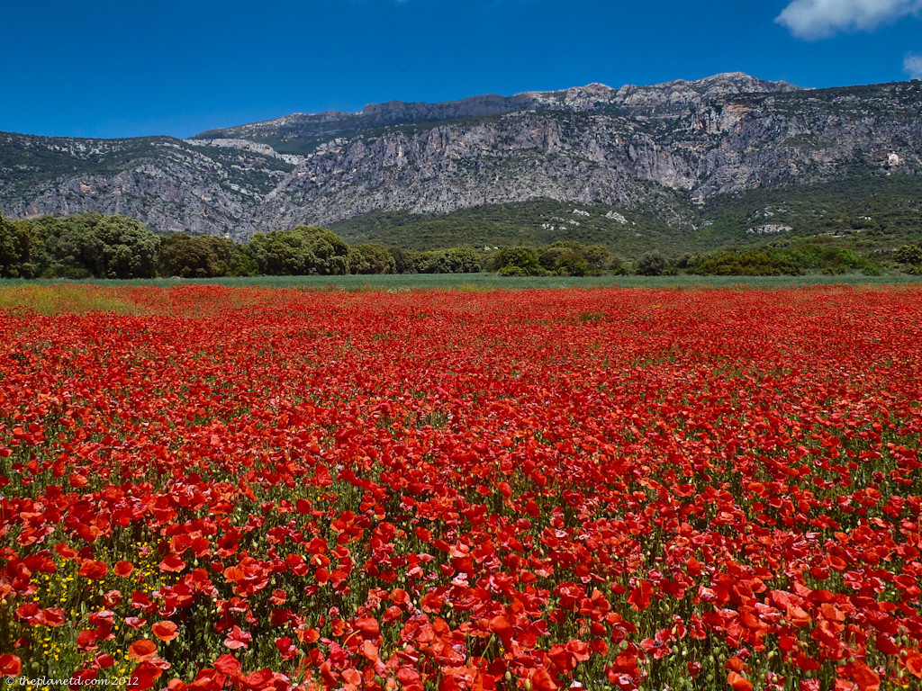 Poppy fields in Catalunya, Spain