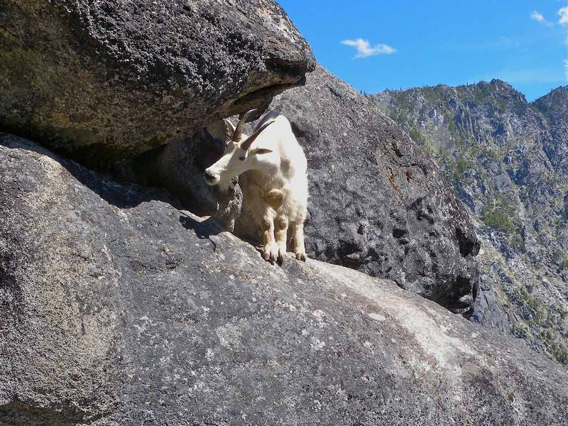 Mama goat atop Orbit