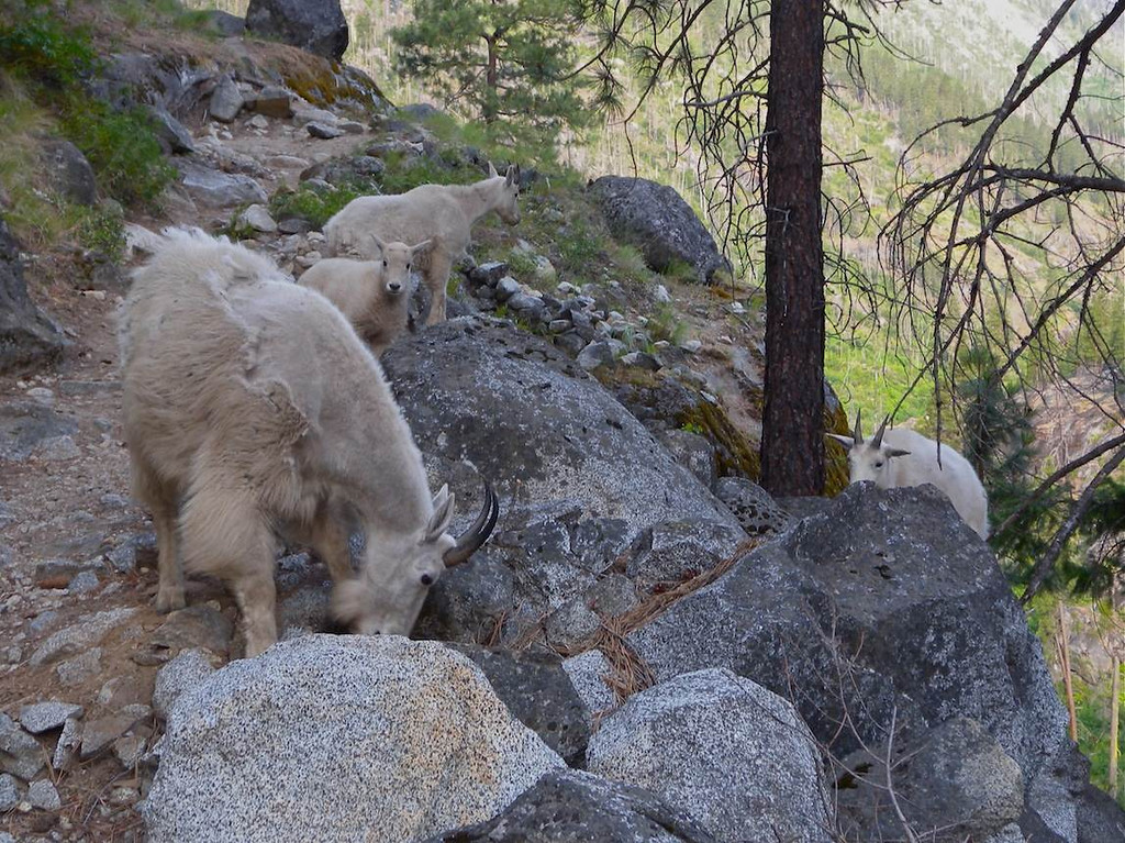 Goat family on way to Snow Creek Wall