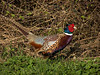 Pheasant, near Chipping Campden.  I saw more of these birds in 24 hours than I had seen in many years.