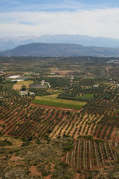 Olive trees of Crete