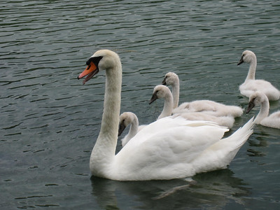 A Swan Family!