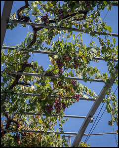 Grape vines, Alona village