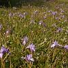 Cy 0549 Moraea sisyrinchium