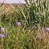 Cy 0062 Moraea sisyrinchium