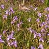 Cy 0548 Moraea sisyrinchium