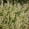Cy 0434 Salvia dominica