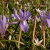 Cy 0555 Moraea sisyrinchium
