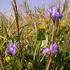 Cy 0063 Moraea sisyrinchium
