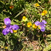 Cy 0066 Moraea sisyrinchium