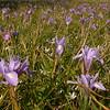 Cy 0550 Moraea sisyrinchium