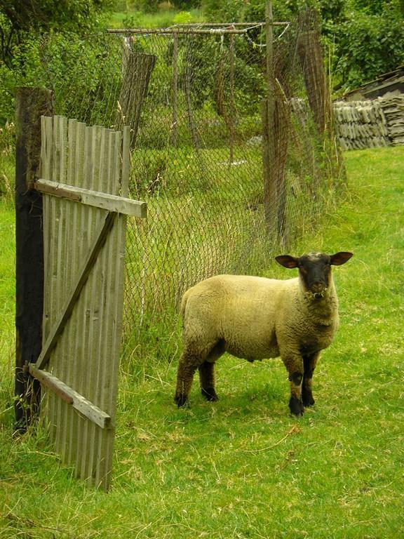 Sheep - Bohemia, Czech Republic