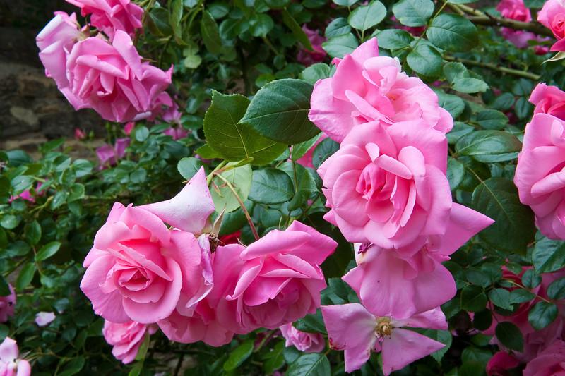 Czech Roses