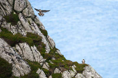 Peregrine on Lundy