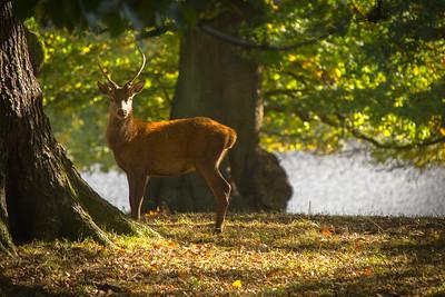 Deer In Shadow