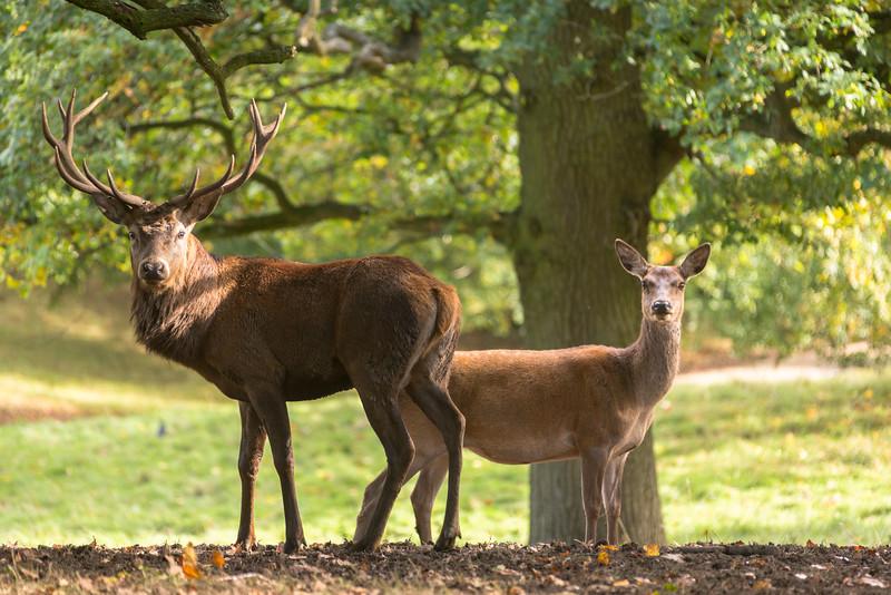 Deer, Studley