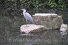 London - Hyde Park - Grey Heron