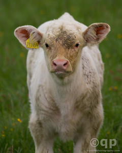 DARTMOOR CALF