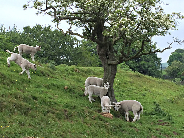 Some super-cute lambs frolicking on the hill.