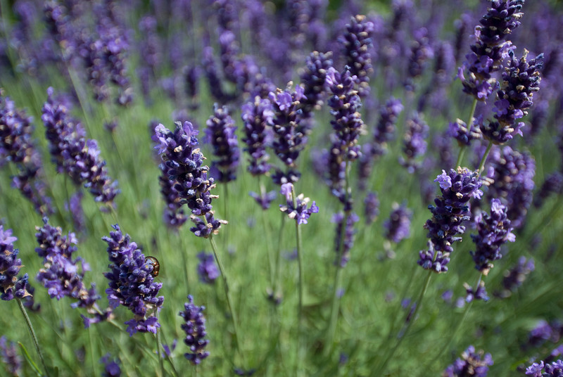 Lavender plant at the Royal Botanical Gardens in Kew, England