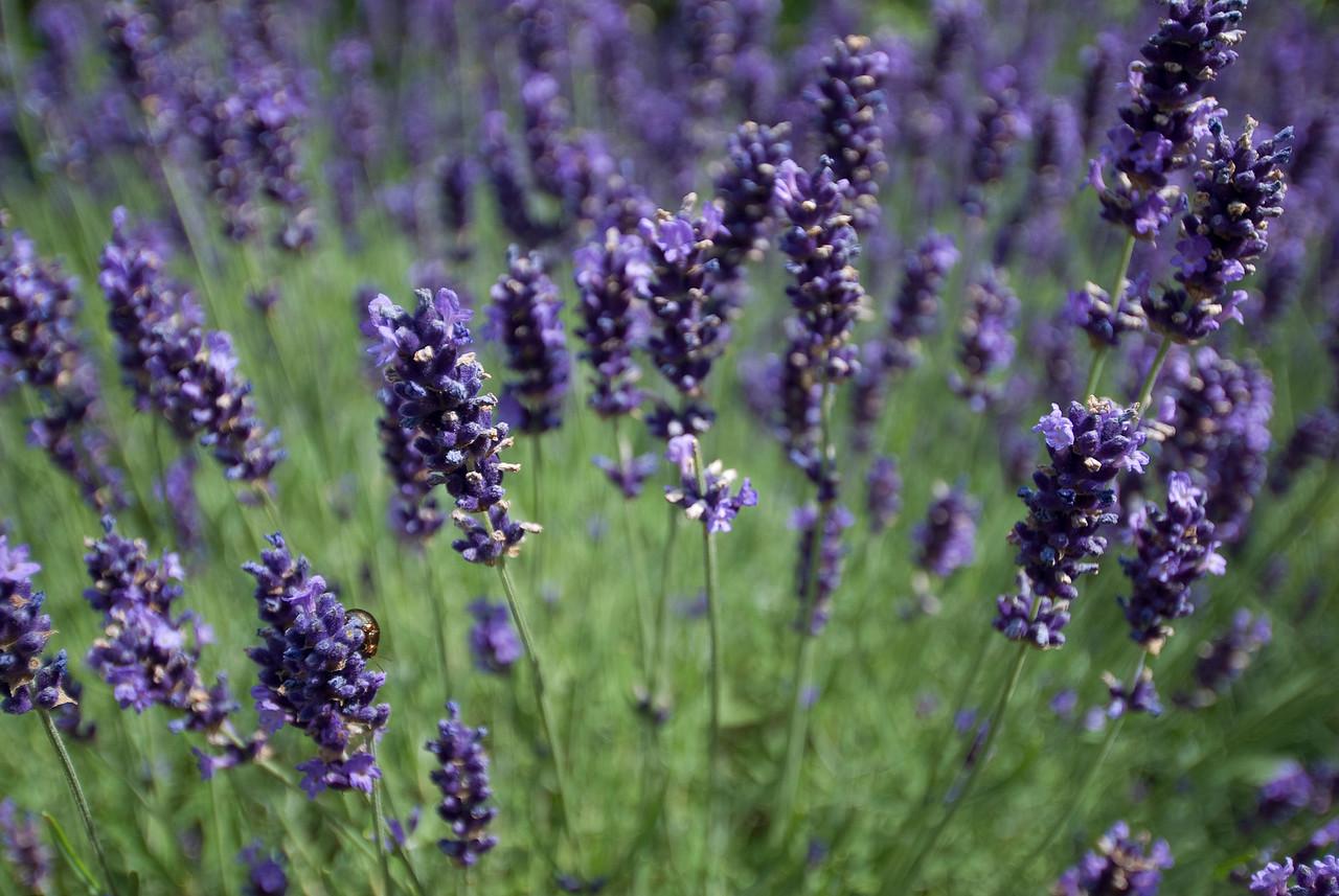 Lavender plant at the Royal Botanical Gardens in Kew, England