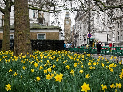 Daffodils at St. James Park in London