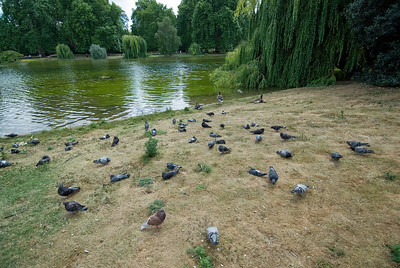 Pigeons along the bank at St. James Park in Westminster, England