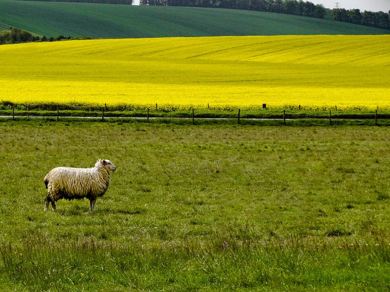 Sheep and Rapeseed