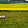 Sheep and Rapeseed