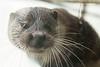 Eurasian Otter, New Forest Wildlife Park, Ashurst, Southampton, England.