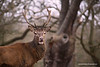 Red Deer, Richmond Park, London, England.
