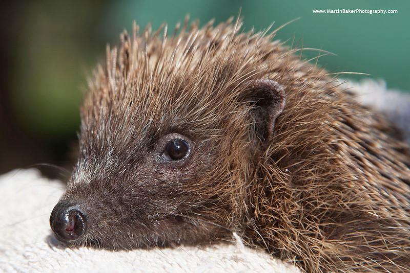 European Hedgehog, New Forest Wildlife Park, Ashurst, Southampton, England.