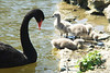 Black Swan and Cygnets, Leeds Castle, Kent, England.