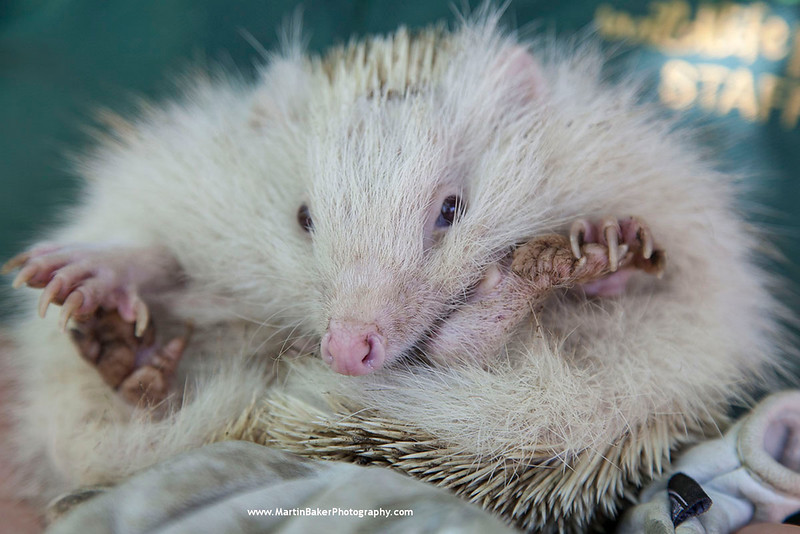 European Hedgehog, New Forest Wildlife Park, Ashurst, Southampton, Hampshire, England.
