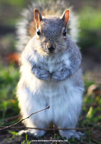 Grey Squirrel, Greenwich, London, England.