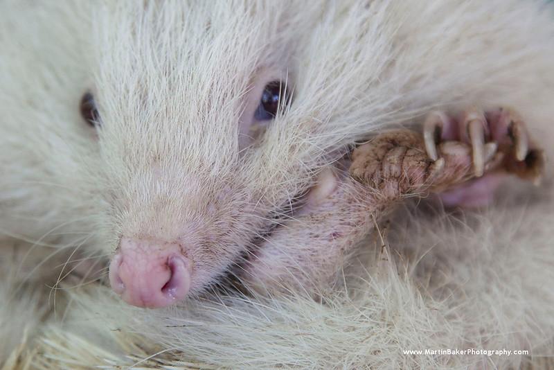 European Hedgehog, New Forest Wildlife Park, Ashurst, Southampton, Hampshire, England.