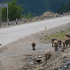 Pigs and cows run loose along the roads,