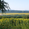 Bulgaria, where these sunflowers were near Veliko Tarnovo,