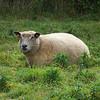 sheep in a nearby yard,