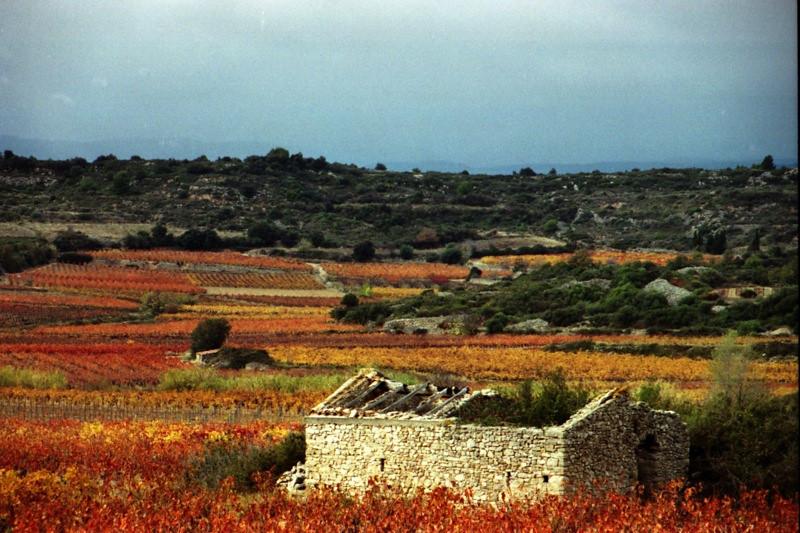 Autumn Vineyards - Languedoc, France