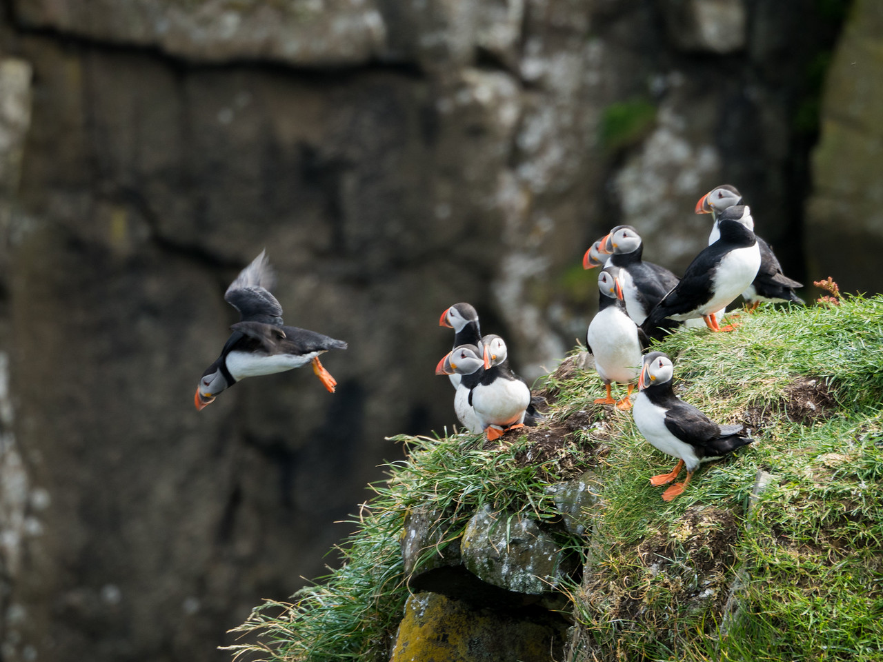 Atlantic puffins in the Faroe Islands