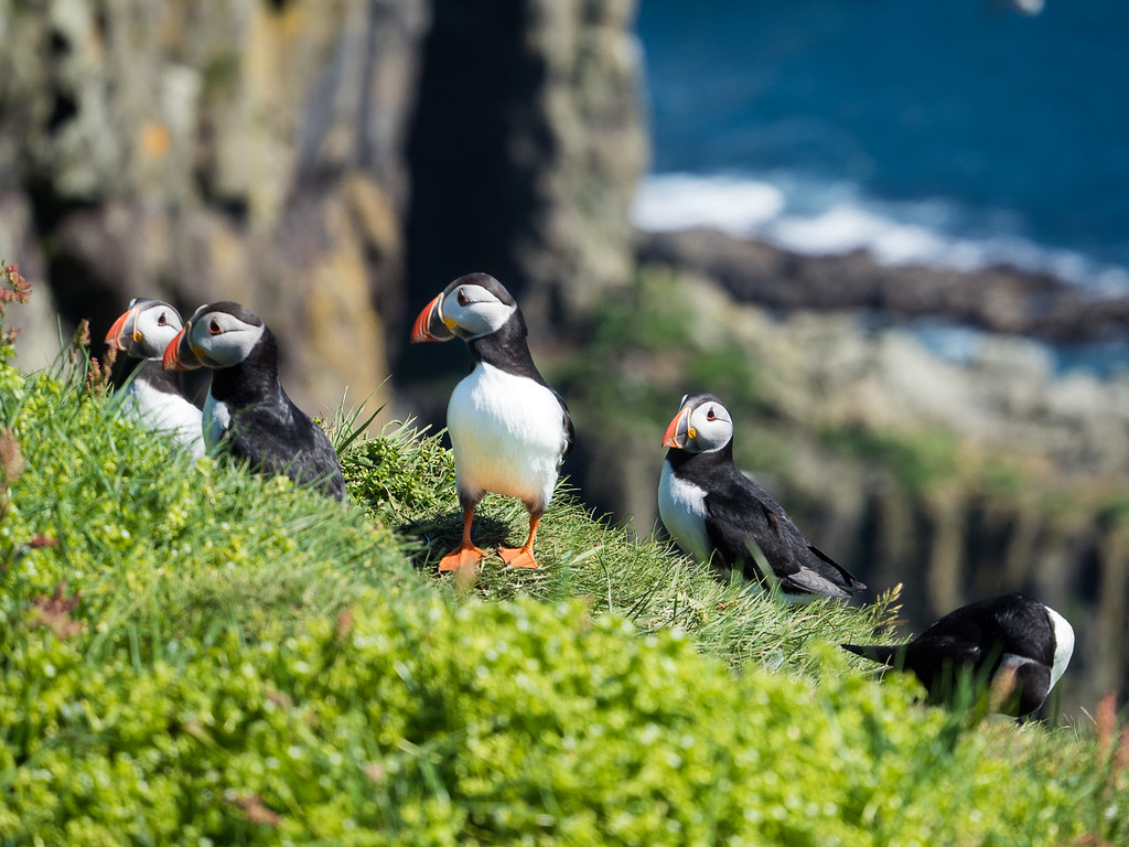 Puffins on Mykines in the Faroe Islands