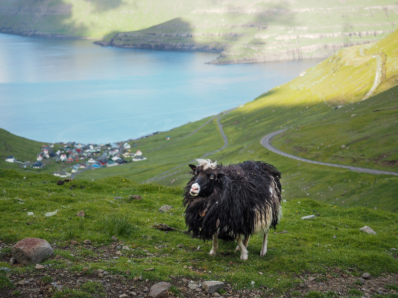 Shaggy sheep in the Faroe Islands